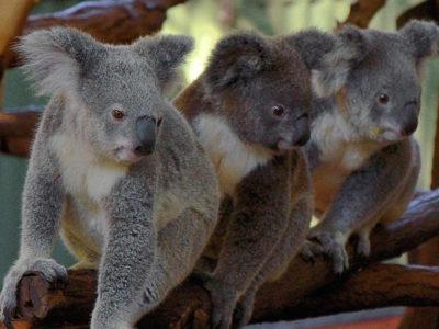 Three_koalas-1